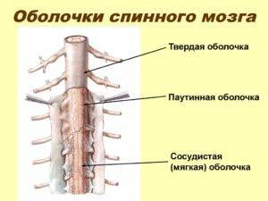 The meninges of spinal cord the human brain