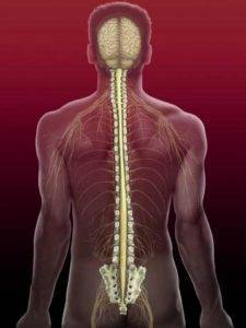 The structure and segments of the spinal cord
