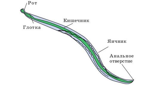 Parasite horsehair