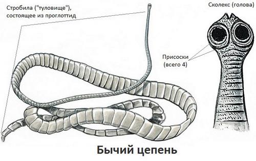 Signs of bullish tapeworm