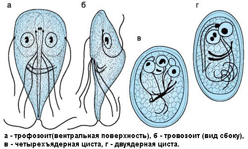 What tests are available for detection of Giardia