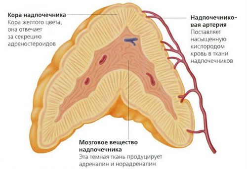 Adrenal hormones and their functions