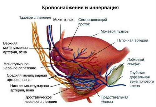 Features of the innervation of the bladder