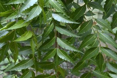 Why neem oil is the Ayurvedic superhero that will banish acne